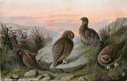 RED GROUSE - THE DAWN OF THE 12TH