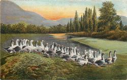 THE GOOSE PARADE  geese, pond