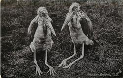 POLITICS  adjutant storks
