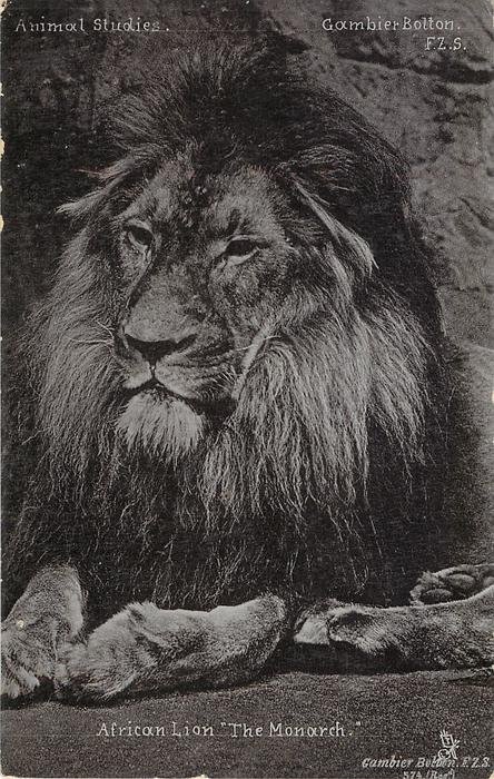 """AFRICAN LION """"THE MONARCH"""""""