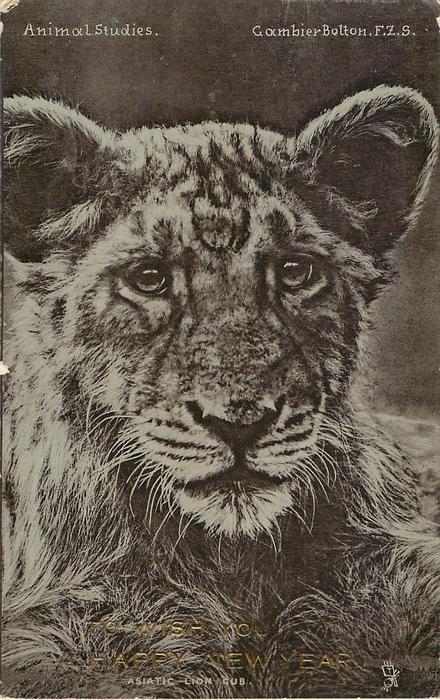 ASIATIC - LION CUB