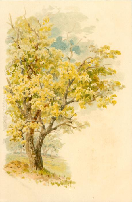 tree with yellow blossom, to left, grass around