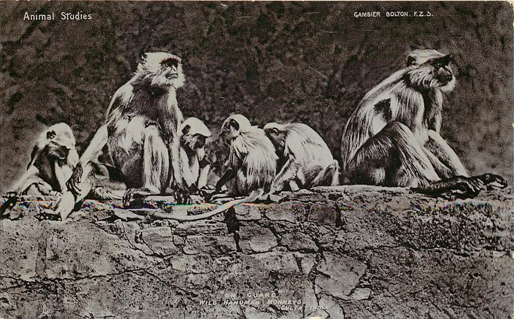 """ON GUARD"", WILD HANUMAN MONKEYS, GULTA, INDIA"