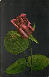 one red rose & unopened bud, black background