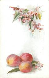 blossom above, plums below