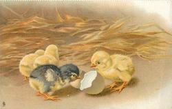 four chicks, two face away, black/yellow chick examines egg shell, another faces left