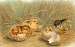 four chicks, two face left, another right, one with head only just out of shell