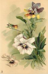 two white open pansies with purple centres face down, multicoloured flowers & bud above, stalks to right