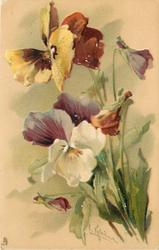 two open pansies, upper yellow/orange, lower white/purple & three buds, stalks right