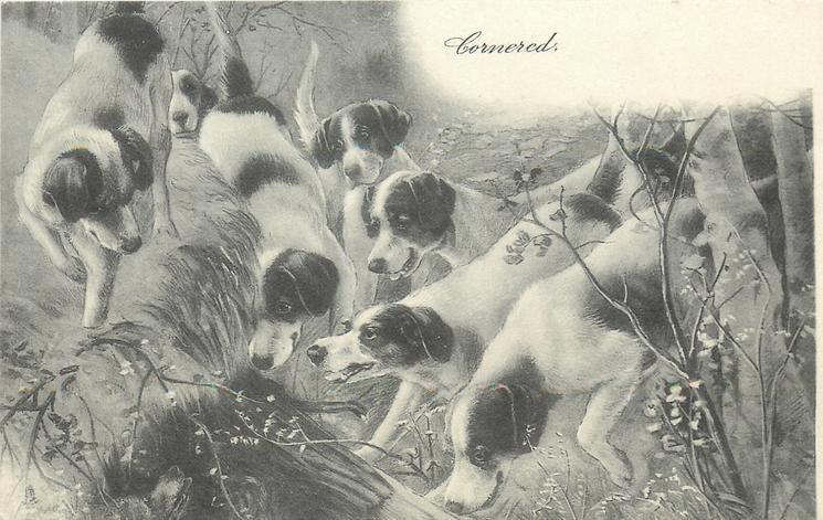CORNERED  foxhounds