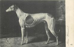 PRIZE WINNER  greyhound