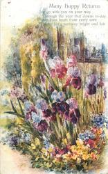 MANY HAPPY RETURNS  purple iris