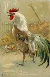 cockerel stands in front ofnest with coloured eggs, head up