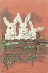 three rabbits looks front over fence