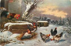 winter scene, multicoloured rooster stands above five hens, conifers behind to right