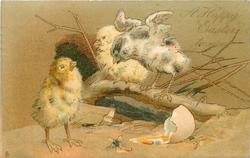 A HAPPY EASTER TO YOU  three chicks,two on branch, one on ground, broken egg, fly tasting yolk