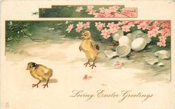 LOVING EASTER GREETINGS  two recently hached chicks move left, eggs upper right under pink blossom