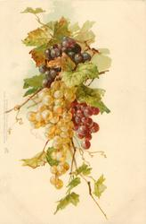 black, purple & yellow grapes