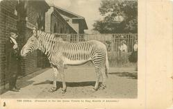 THE ZEBRA. (PRESENTED TO THE LATE QUEEN VICTORIA BY KING MENELIK OF ABYSSINIA)