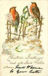 two robins sing, mistletoe between