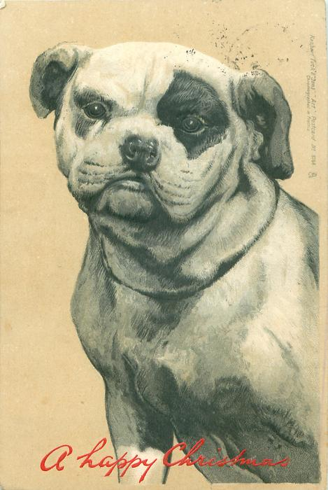close up of bulldog with black left eye patch, dog looks front