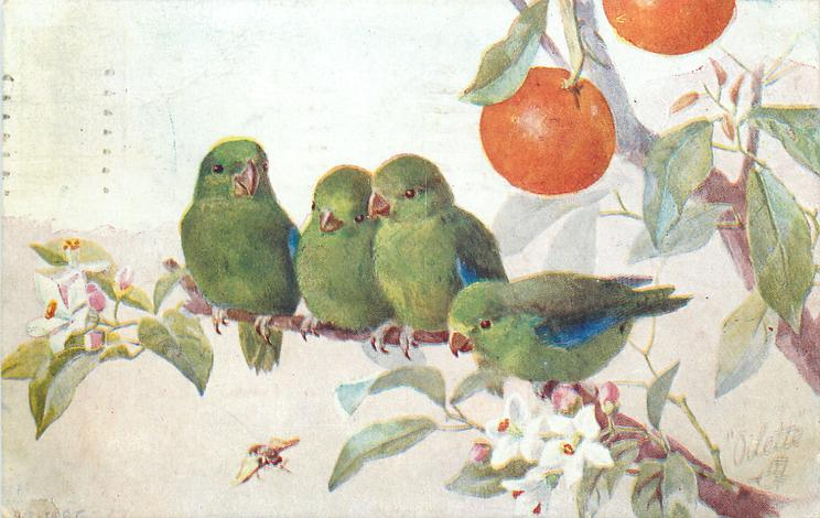 four green finches, with blue wings, on orange tree
