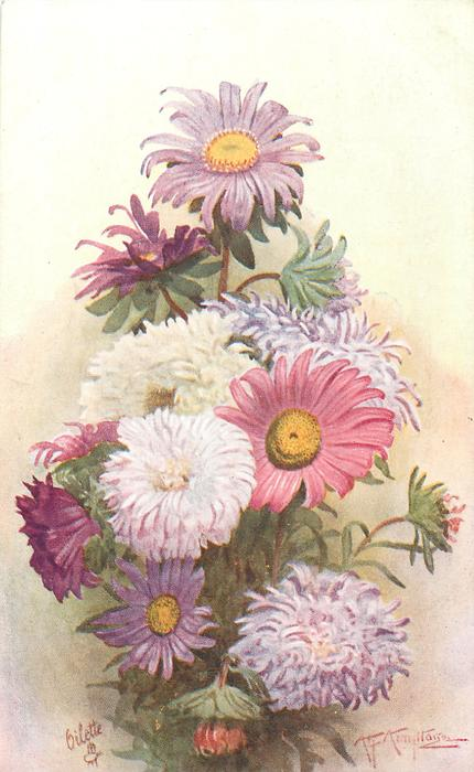pink and purple zinnias and asters
