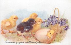 COME OUT OF YOUR SHELL AND PLAY!  three yellow & one black chicks observe yellow in shell, violets