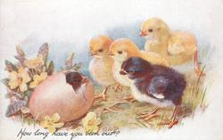 HOW LONG HAVE YOU BEEN OUT?  three yellow & one black chick look left at black chick in egg