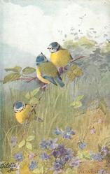 three bluetits on branch over violets