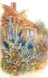 blue delphiniums in front of cottage
