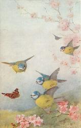 blue and yellow bluetits, bronze butterfly, lower left, pink blossom around
