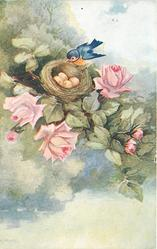 pink roses, bluebird sits on edge of nest with four eggs