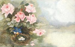 roses to left of water, small blue bird with orange/white below sits on edge of nest, three eggs