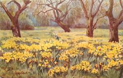 DAFFODILS IN OLD ORCHARD - WIGGIE, REDHILL