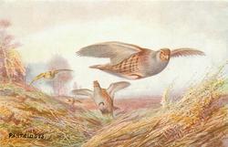 PARTRIDGES  four birds flying