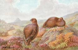 PARTRIDGES  two birds sitting in heather on hillside, no water