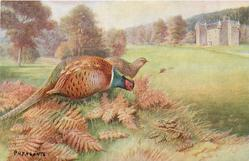PHEASANTS  cock & hen feeding in grounds of country mansion