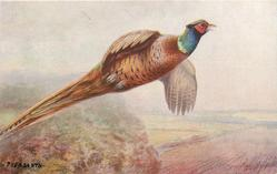 PHEASANTS  cock flying