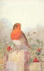 robin perched on wall, faces front, looks right, holly surrounding