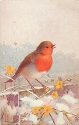 robin perched on wall, looking right, yellow blossoms  & snow below