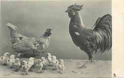 hen stands behind ten little chicks, rooster right