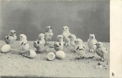 ten little chicks just hatched out of their eggs