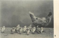 ten little chicks stand with  hen to right