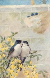 two blue backed & white breasted house martins sitting together on a yellow laburnum, nest above