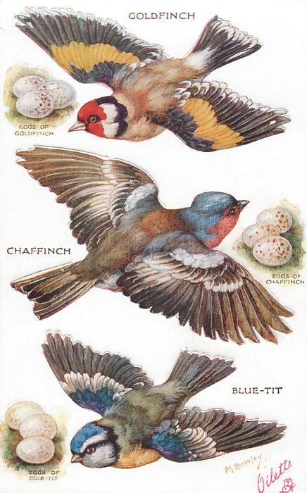 GOLDFINCH, CHAFFINCH, BLUE-TIT & their eggs