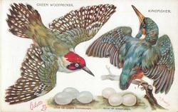 GREEN WOODPECKER, KINGFISHER & their eggs