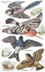 LONG-TAILED TIT, HOOPOE, MARTIN, SISKIN & their eggs