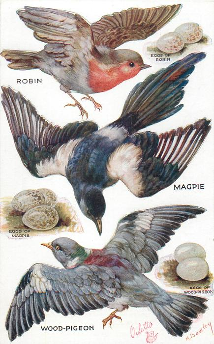 ROBIN, MAGPIE, WOOD-PIGEON & their eggs