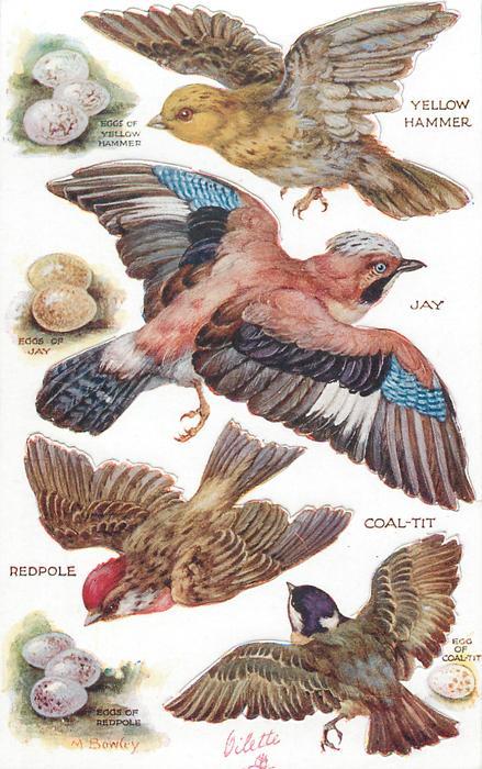 YELLOW HAMMER, JAY, COAL-TIT, REDPOLE & their eggs